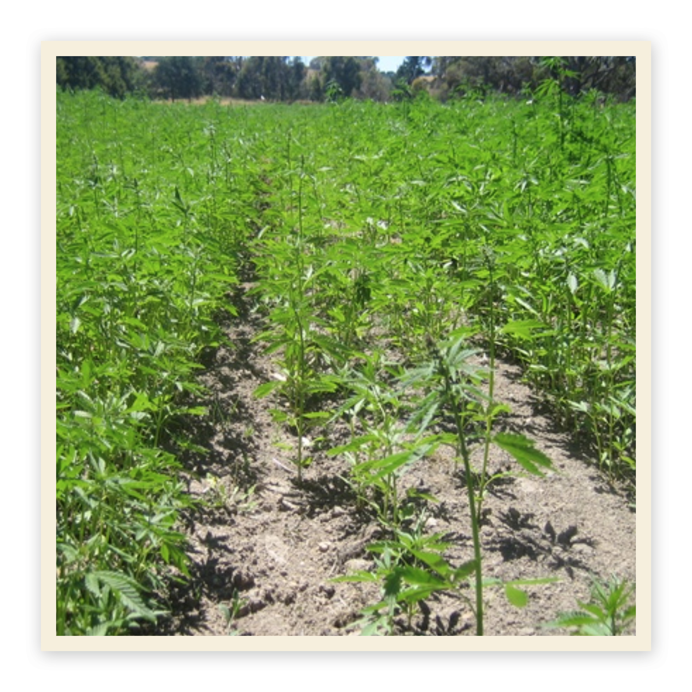 A new AgriFutures Australia project will seed the future of industrial hemp – an ancient fibre crop earmarked as having potential to exceed $10 million as an emerging food and fibre industry by 2025.