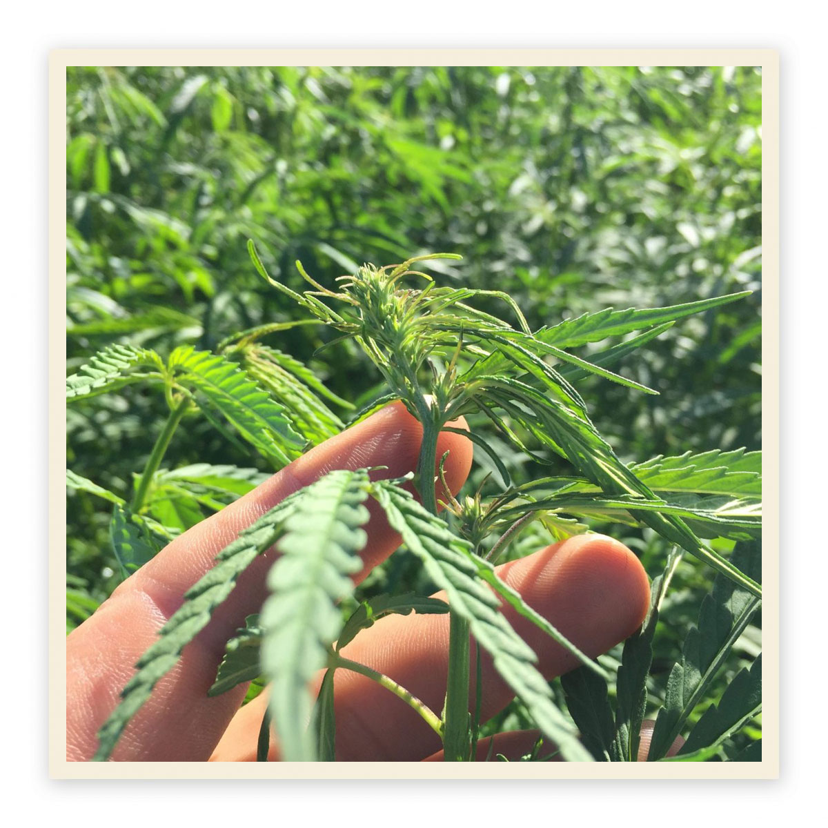 Industrial Hemp Project National-Cultivator Trial Scheme image of hemp close up